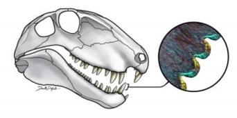Cranio di Dimetrodon con dettaglio istologico sottile di una sezione di dente. (crediti: Danielle Dufault)