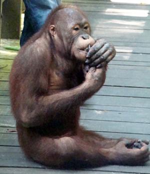 Giovane maschio di orango. Foto VOA - R. Corben