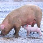 Nel 4600 a.C. i cacciatori-raccoglitori d'Europa allevavano maiali