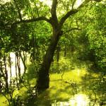 Foreste di mangrovie bengalesi stanno scomparendo
