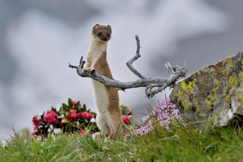 Terzo premio Fauna selvatica del Parco - Ermellino - Sergio Peroceschi