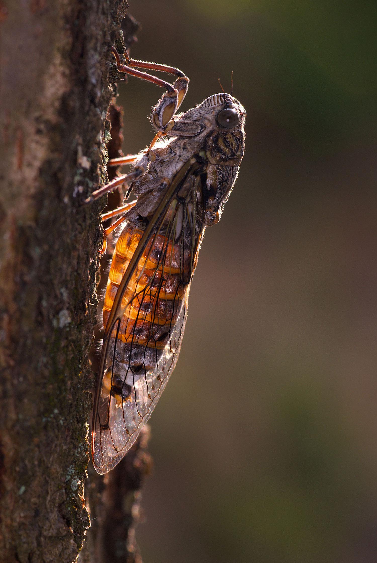 Terzo premio Macro del Parco - Cicala comune in controluce - Claudio Pia
