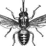 Mappato il genoma della mosca Tse-tse