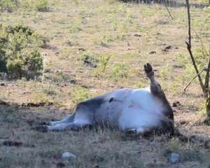 Località Fonte di Vico, 22 luglio 2012. Vitello morto fra le vacche in quarantena dopo gli episodi di tubercolosi
