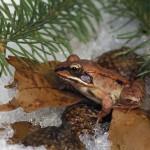 Subnivium: rischi per gli animali con il diminuire della copertura nevosa