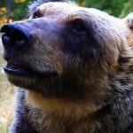 Un romanzo per salvare l'orso marsicano e noi stessi: conversazione con Giuseppe Festa