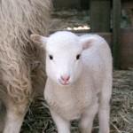 Perché salvare un agnello