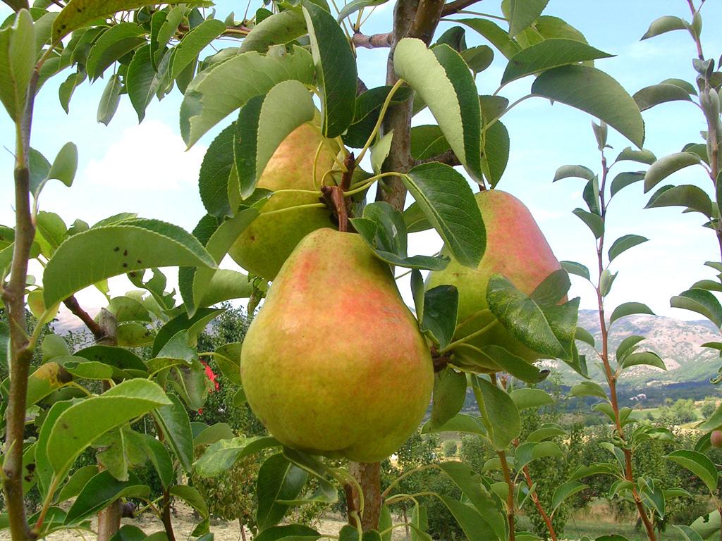 La cosa pi importante for Foto alberi da frutto
