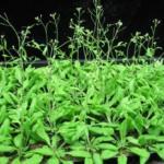 Scoperto gene che aiuta le piante a resistere ai cambiamenti di temperatura