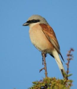 Piccoli uccelli migrano verso l'Africa, volando ad alte quote