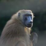 Anche i babbuini capiscono i numeri