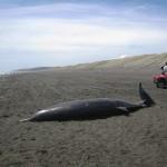 Si spiaggia per la prima volta la balena più rara del mondo