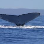 Nuove scoperte sui canti delle balene