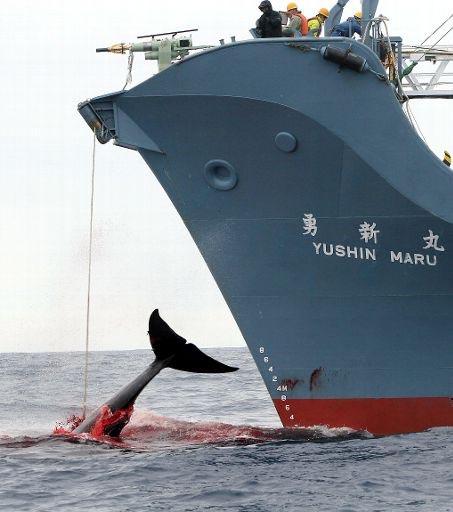 Baleniera giapponese in azione