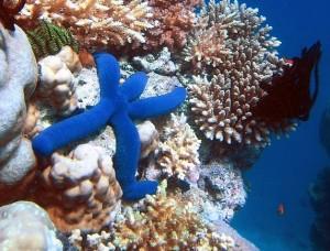Alghe velenose minacciano la Grande Barriera Corallina