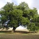 """Potenza, 5 alberi secolari protagonisti della """"Carta degli alberi Padri"""""""