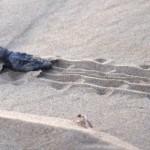 Wwf: nate oltre 60 tartarughe caretta caretta in Sicilia