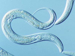 Un piccolo organismo per prevenire la morte dei neuroni