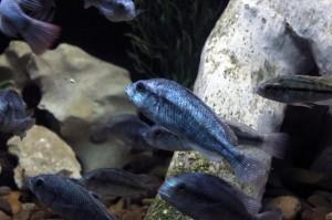 Anche i pesci sono in grado di giocare