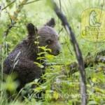 Cucciolo di orso marsicano scampa ad avvelenamento: forse morta la mamma
