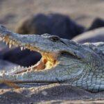 Perchè i coccodrilli sono cambiati così poco