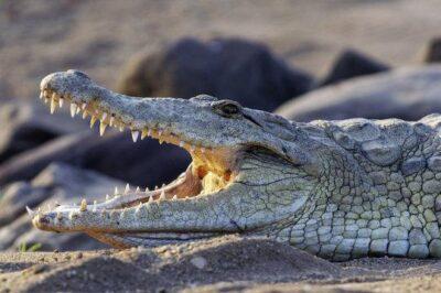 Coccodrillo (Crocodylia) - immagine di repertorio