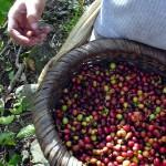 Sequenziato il DNA del caffè arabica