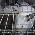 Allevamenti in gabbia conigli: Realacci deposita interrogazione