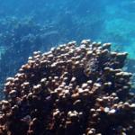 Nuova alga favorisce la sopravvivenza dei coralli in acque calde
