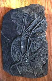 crinoide-fossile