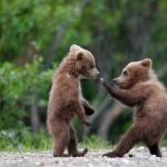 Conta delle femmine coi cuccioli di orso marsicano: <br> buona la produttività, ma ancora troppo alta la mortalità a causa dell'uomo