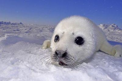cucciolo-foca