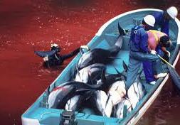 delfini massacro Giappone