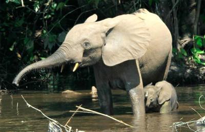 elefante_foreste