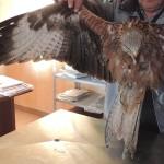 """Eolico trancia l'ala di un nibbio reale: animale a rischio eutanasia<br>Lipu: """"L'eolico continua a devastare biodiversità e paesaggio"""""""
