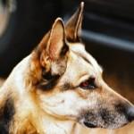 Il fiuto dei cani per diagnosticare il tumore alla prostata