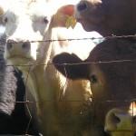 Antibiotico-resistenza: scoperti nuovi geni nel letame delle mucche