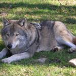 L'ibrido che minaccia il lupo: intervista a Luigi Boitani