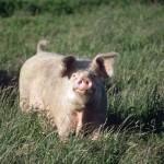 Mappato il DNA dei maiali, aiuterà l'allevamento e la ricerca biomedica