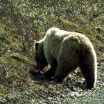 Emergenza TBC orso marsicano: anche il WWF chiede chiusura dei pascoli, ma dalla Regione ancora nessun segnale