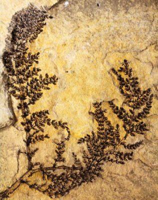 Fossile intatto di Montsechia vidalii (crediti: David Dilcher)