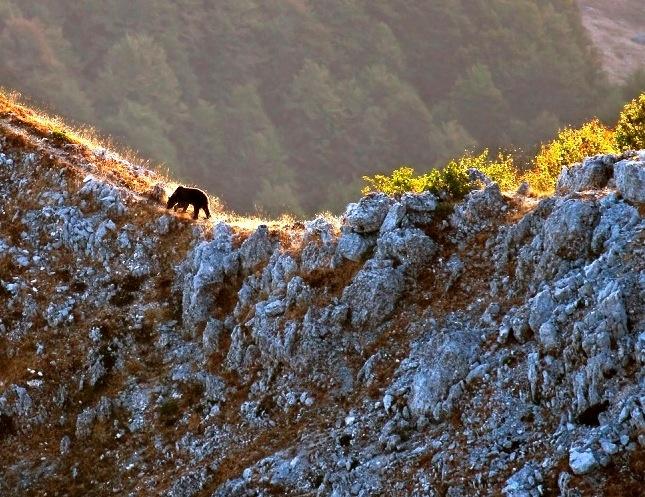 Orso mariscano nel Parco d'Abruzzo. Il Parco Sirente Velino, dove l'orso è stato avvistato più volte è compreso nell'areal di espansione del plantigrado, Secondo gli esperti se l'orso non amplierà il suo areale sarà destinato ad estinguersi.  Foto: Paolo Forconi