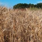 """Il grano duro """"migra"""" a nord: un convegno a Roma per salvare la pasta italiana"""