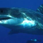 """Risolto il mistero del """"mostro marino"""" che ingoiò il grande squalo bianco"""