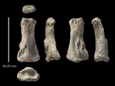 Ossa di dita di Homo sapiens rinvenute nel sito di Al Wusta, Arabia Saudita (crediti: Ian Cartwright)