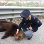 """Orso morto in autostrada: dopo lo """"scambio"""" di comunicati con Salviamo l'Orso  il no-comment di Autostrada dei Parchi"""