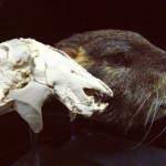 In Madagascar, un mammifero simile alla marmotta viveva con i dinosauri