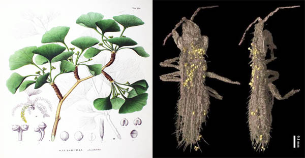 Gymnospollisthrips minor, insetto fossile di 110 milioni di anni che nutriva le proprie larve di polline di un lontano antenato del Ginkgo. Crediti: ESRF