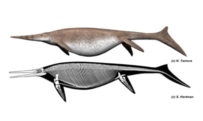 Ricostruzione dell'ittiosauro gigante Shonisaurus: struttura scheletrica (in basso) e probabile aspetto dell'animale da vivo (in alto) (crediti: Nobumichi Tamura, Scott Hartman)