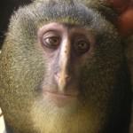 Scoperta in Congo il Lesula, una nuova scimmia: è già a rischio di estinzione